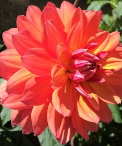 red orange flower full bloom - are your fears making you give up on your dreams?